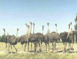 No centro de Portugal, o Alentejo, onde a natureza ainda está intacta está situada a criação de avestruzes Baronigg. Rodeada por oliveiras, sobreiros, apenas interrompidas por algum pastor com as suas ovelhas ou vacas. Há hotel e restaurante perto!
